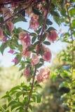 Blühendes Bouganvilla verzweigen sich in Tageszeitnahaufnahme flacher dep Stockfoto