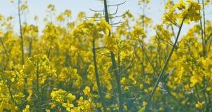 Blühendes Canola Feld Raps auf dem Feld am Sommer Helles gelbes Rapsöl Blühender Rapssamen stock video