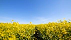 Blühendes Canola Feld Vergewaltigung auf dem Feld in der Sommernahaufnahme stock video