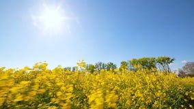 Blühendes Canola Feld Vergewaltigung auf dem Feld in der Sommernahaufnahme stock video footage