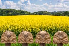 Blühendes Canolafeld mit blauem Himmel Lizenzfreie Stockfotografie