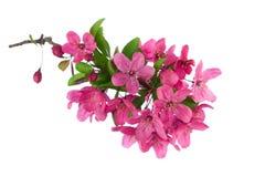 Blühendes crabapple, lokalisiert auf Weiß Lizenzfreies Stockbild