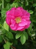 Blühendes dogrose Stockbild