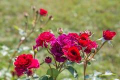 Blühendes Englisch stieg in den Garten an einem sonnigen Tag stockbild