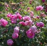 Blühendes Englisch stieg in den Garten an einem sonnigen Tag stockfotografie