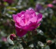 Blühendes Englisch stieg in den Garten an einem sonnigen Tag stockbilder