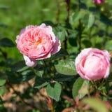 Blühendes Englisch stieg in den Garten an einem sonnigen Tag David Austin Alnwick Rose stockfoto