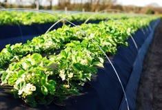 Blühendes Erdbeerefeld Lizenzfreie Stockbilder