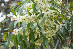 Blühendes eucalyprus microcarpa Stockfotografie