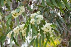 Blühendes eucalyprus microcarpa Stockbild