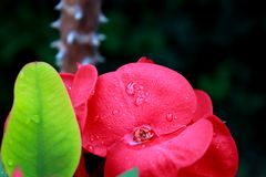 Blühendes Euphorbiengummi milii Lizenzfreie Stockbilder