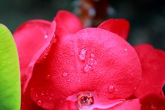 Blühendes Euphorbiengummi milii Stockfoto