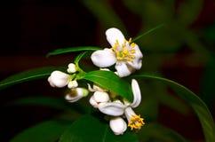 Blühendes Eustis-limequat Stockbild