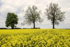 Blühendes Feld im Hintergrund mit Bäumen Stockfotografie