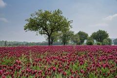 Blühendes Feld voll von Mohnblumen stockbild
