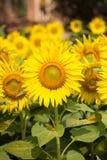 Blühendes Feld von Sonnenblumen stockbild