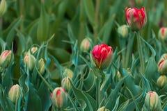 Blühendes Feld von Tulpentausenden Tulpen Stockbild