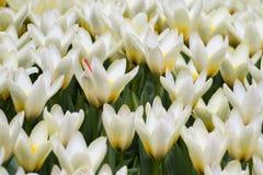 Blühendes Feld von Tulpentausenden Tulpen Stockfoto