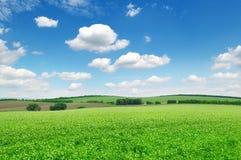Blühendes Felderbse Stockfoto