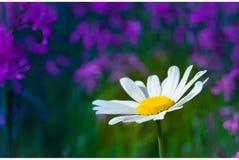 Blühendes Gänseblümchen Stockfotos