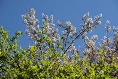 Blühendes Gebüsch Stockfotos
