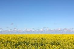 Blühendes gelbes Feld und blauer Himmel Stockfoto