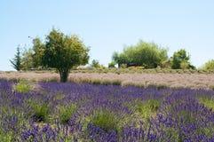 Blühendes gerochenes Feld der Lavendelblume mit Baum lizenzfreie stockfotografie
