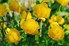 Blühendes globeflower im Frühjahr Lizenzfreie Stockfotos
