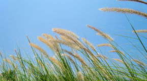 Blühendes Gras Stockfoto