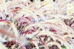Blühendes Gras Lizenzfreie Stockfotos