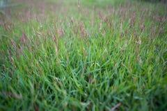 Blühendes Gras Lizenzfreies Stockbild