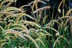 Blühendes Gras lizenzfreie stockfotografie