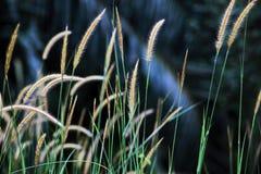 Blühendes Gras lizenzfreies stockfoto