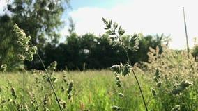 Blühendes Gras, das in den Wind beeinflußt Auf einer Wiese in der Landschaft, ist herum vom Grün voll stock video