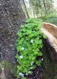 blühendes hölzerner Sauerampfer Oxalis-acetosella auf einem Stummel Stockfotografie