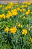 Blühendes hübsches Frühlingsblumenwachsen im Sonnenschein Lizenzfreies Stockfoto