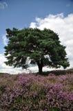 Blühendes Heidekraut auf einem Gebiet lizenzfreies stockbild