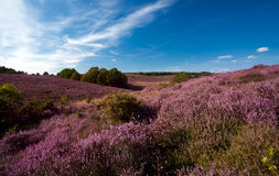 Blühendes Heidekraut auf Hügeln Stockfotos
