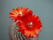 Blühendes Kaktus Parodia sanguiniflora. Stockfoto