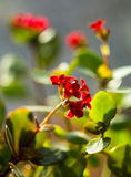 Blühendes Kalanchoe Kalanchoe-Blumennahaufnahme Lizenzfreies Stockbild