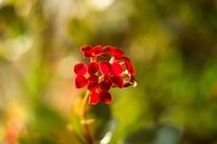 Blühendes Kalanchoe Kalanchoe-Blumennahaufnahme Bringen Sie Anlage unter Lizenzfreie Stockfotos