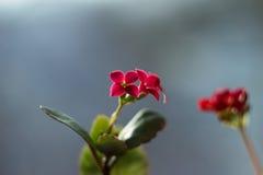 Blühendes Kalanchoe Kalanchoe-Blumennahaufnahme Zimmerpflanze auf Th Stockfotografie