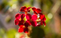 Blühendes Kalanchoe Kalanchoe-Blumennahaufnahme Zimmerpflanze auf Th Stockfotos