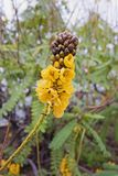 Blühendes Kassie didymobotrya, Common nennt afrikanische Kassie, Popcorn Lizenzfreie Stockbilder