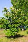 Blühendes Kastanienbaum Aesculus hippocastanum Stockfotos