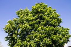 Blühendes Kastanienbaum Aesculus hippocastanum im Park Stockfotos