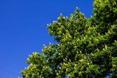 Blühendes Kastanienbaum Aesculus hippocastanum im Park Stockfoto