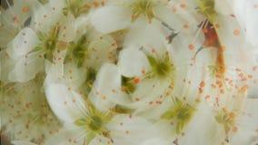 Blühendes Kirschbaumdetail Stockbild
