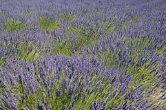Blühendes Lavendelfeld lizenzfreie stockfotos