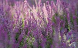 Blühendes Lavendelfeld, schöne Landschaft stockfoto
